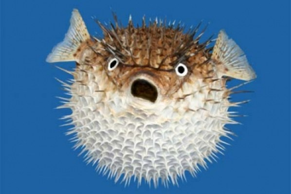 http://www.ulyces.co/wp-content/uploads/2017/02/puffer-fish.jpg