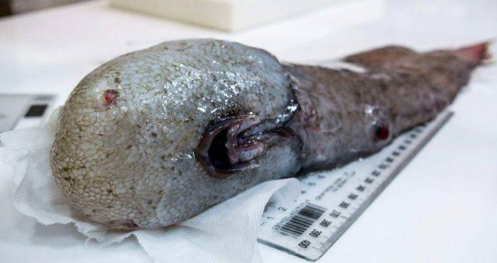 Un poisson sans visage remonté des abysses — Australie