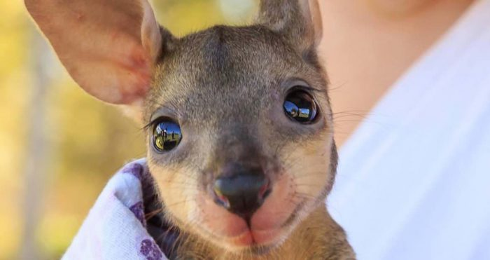 Dernier obstacle à l'avènement de la voiture autonome — Le kangourou
