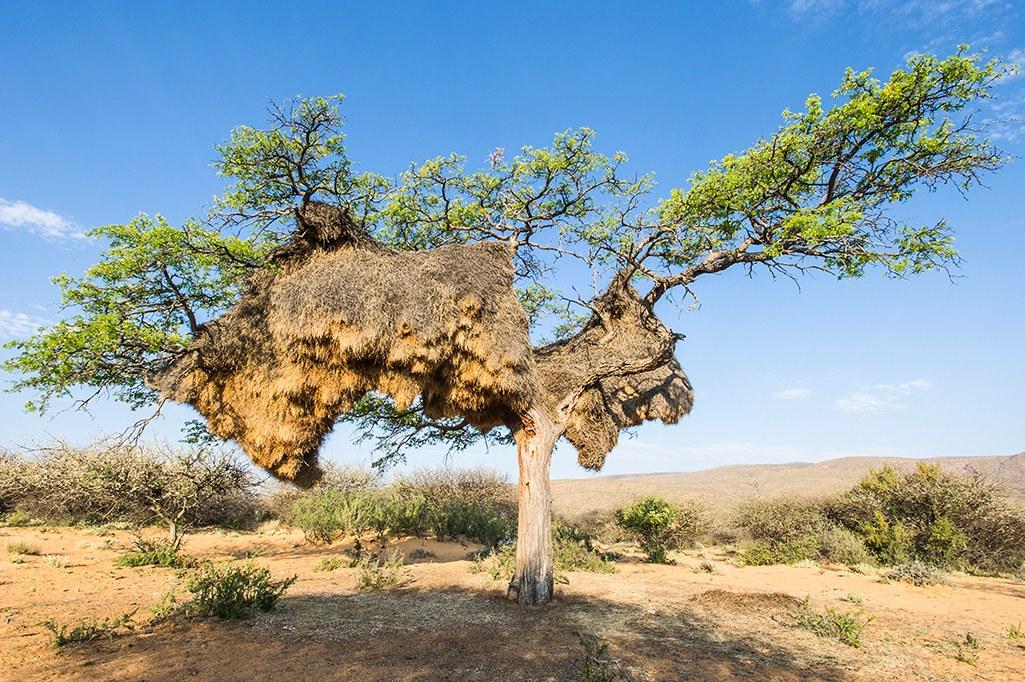 ces petits oiseaux construisent des nids si gigantesques qu ils d racinent les arbres nuage. Black Bedroom Furniture Sets. Home Design Ideas