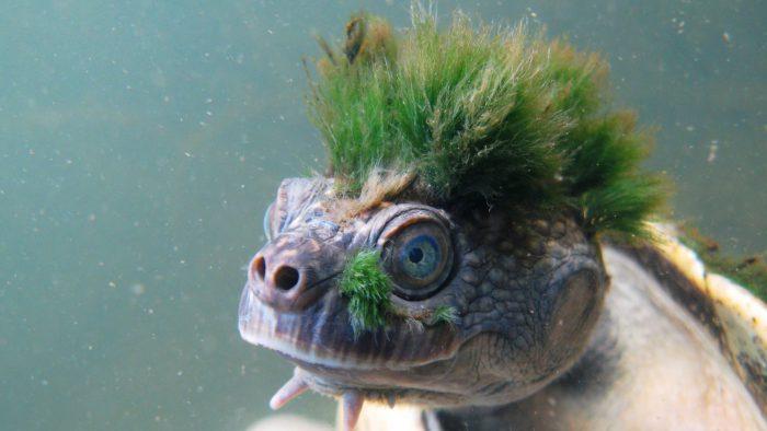 Menacée, cette adorable tortue punk émeut le Web