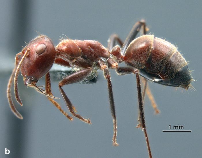 Ces fourmis suicidaires explosent pour faire fuir leurs adversaires - Faire fuir les fourmis ...