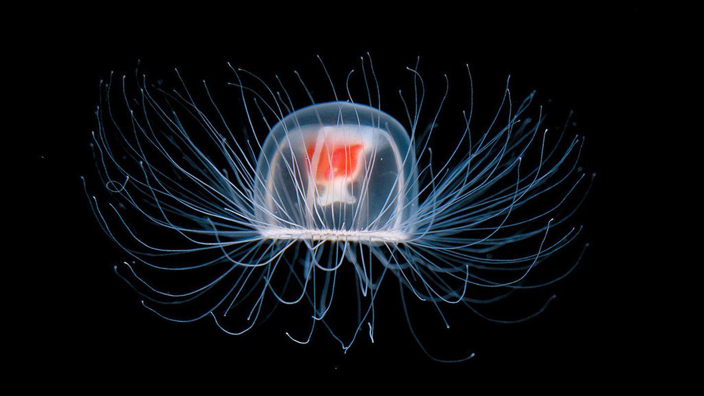 Cette méduse détient-elle le secret de l'immortalité ?