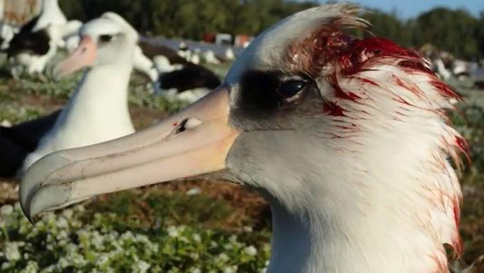 ces albatros se font manger vivants par des souris assoiff es de sang. Black Bedroom Furniture Sets. Home Design Ideas