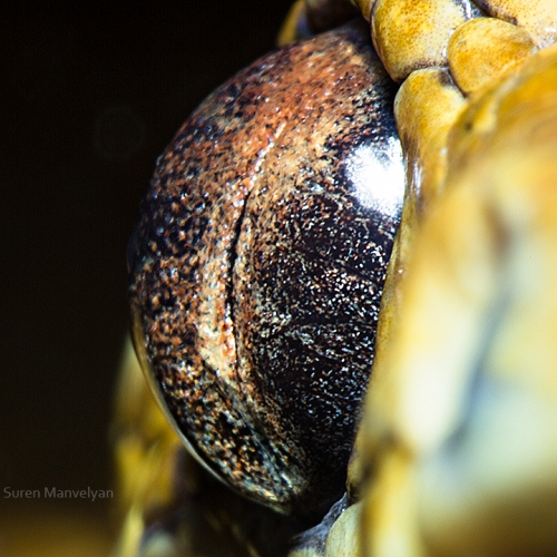 Boa Salmonidia