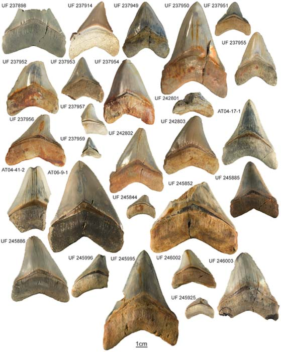 carcharocles-megalodon-collection
