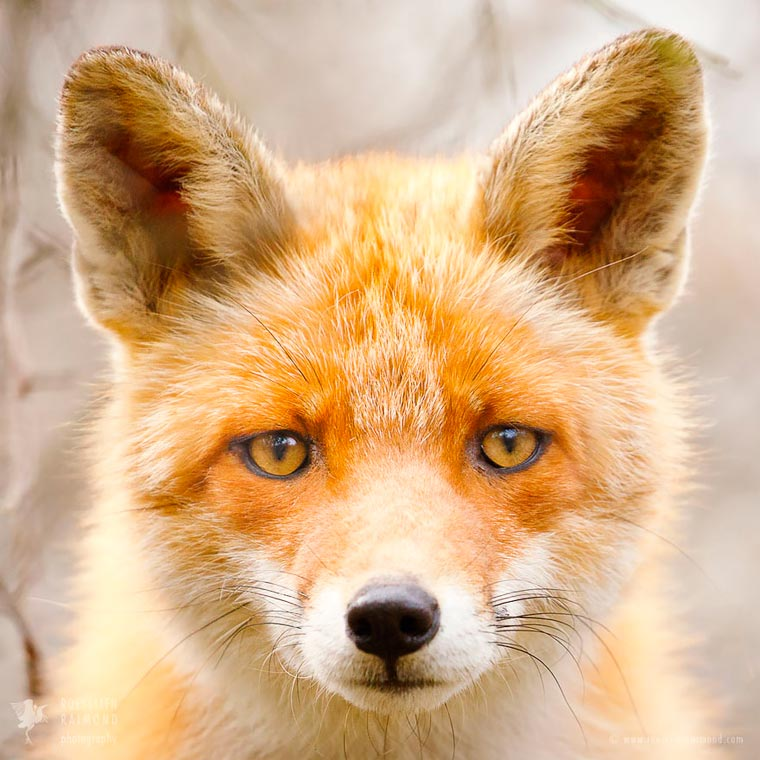 Faces-of-Foxes-Roeselien-Raimond-10