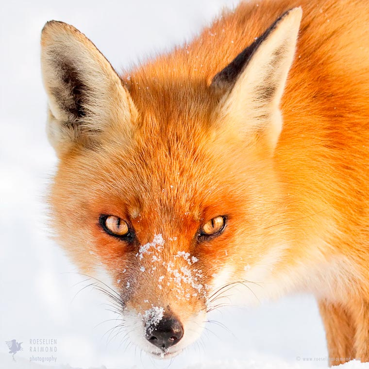 Faces-of-Foxes-Roeselien-Raimond-12
