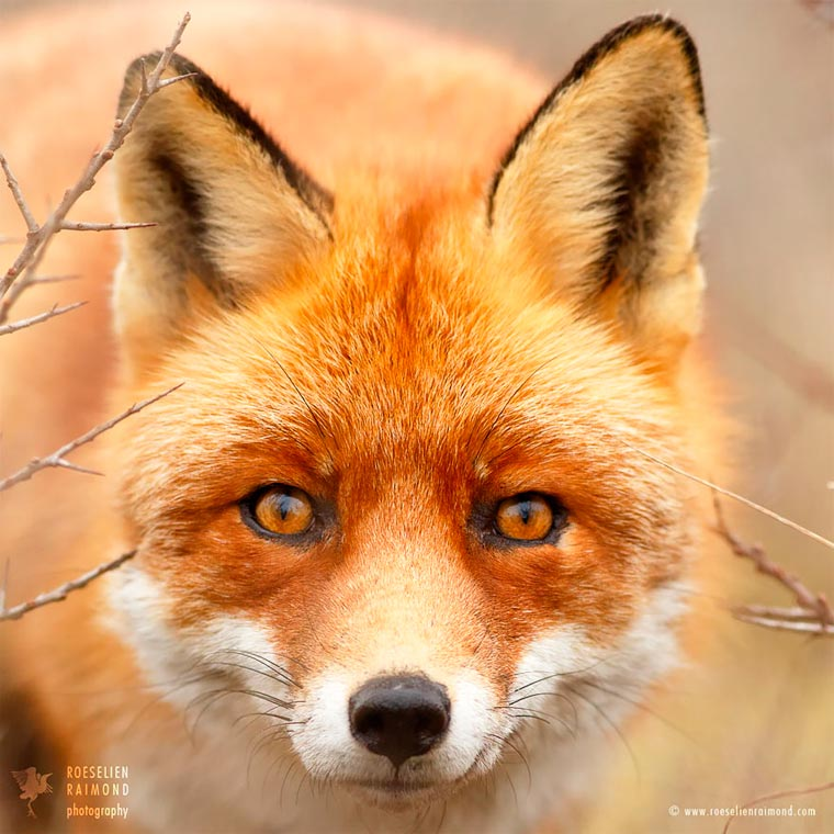 Faces-of-Foxes-Roeselien-Raimond-13