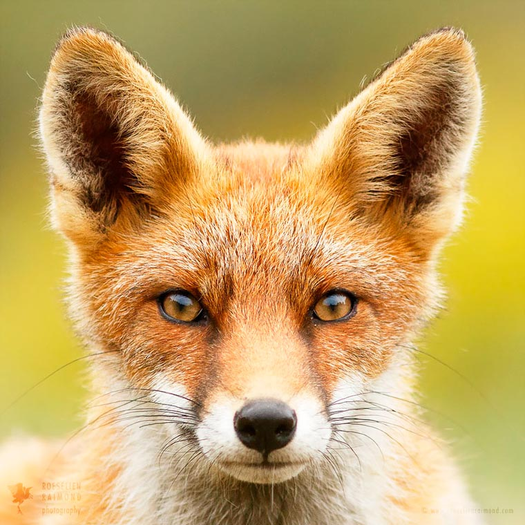Faces-of-Foxes-Roeselien-Raimond-4