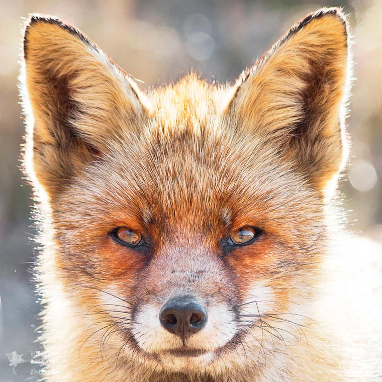 Faces-of-Foxes-Roeselien-Raimond-5