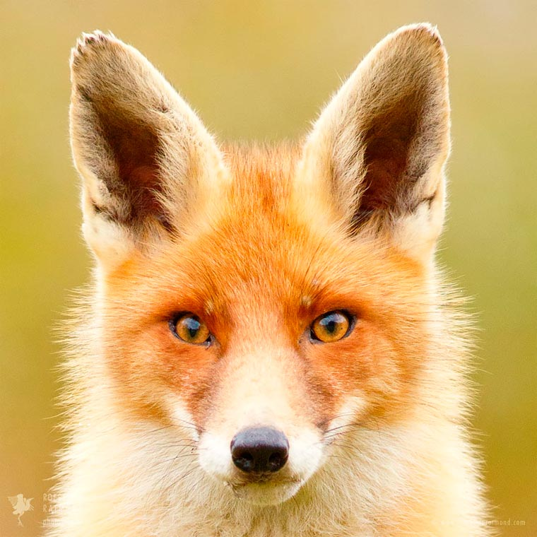 Faces-of-Foxes-Roeselien-Raimond-6