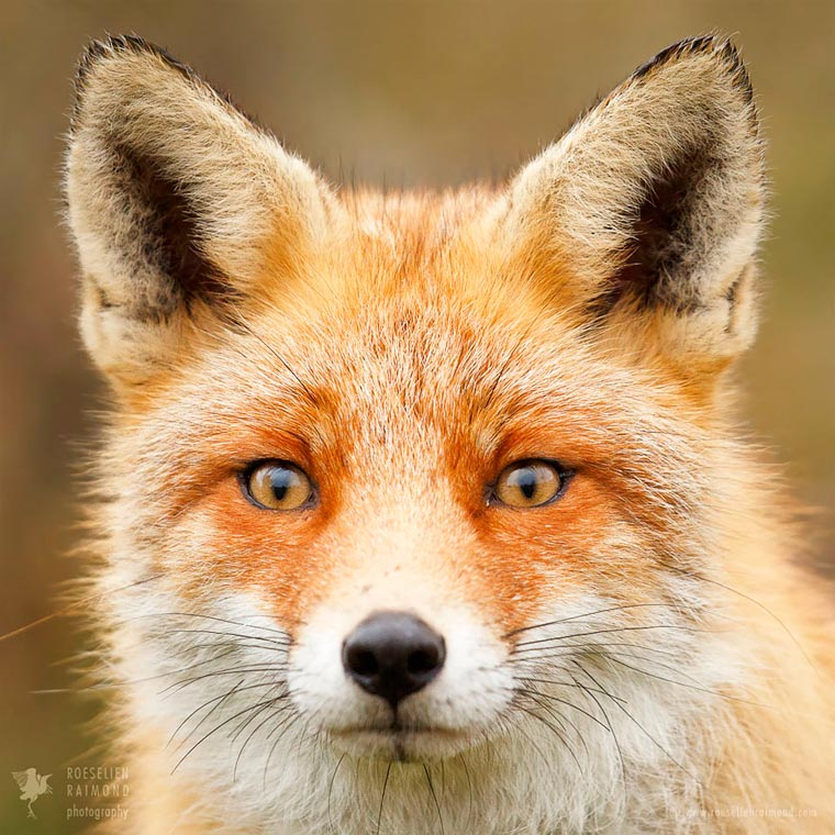 Faces-of-Foxes-Roeselien-Raimond-8