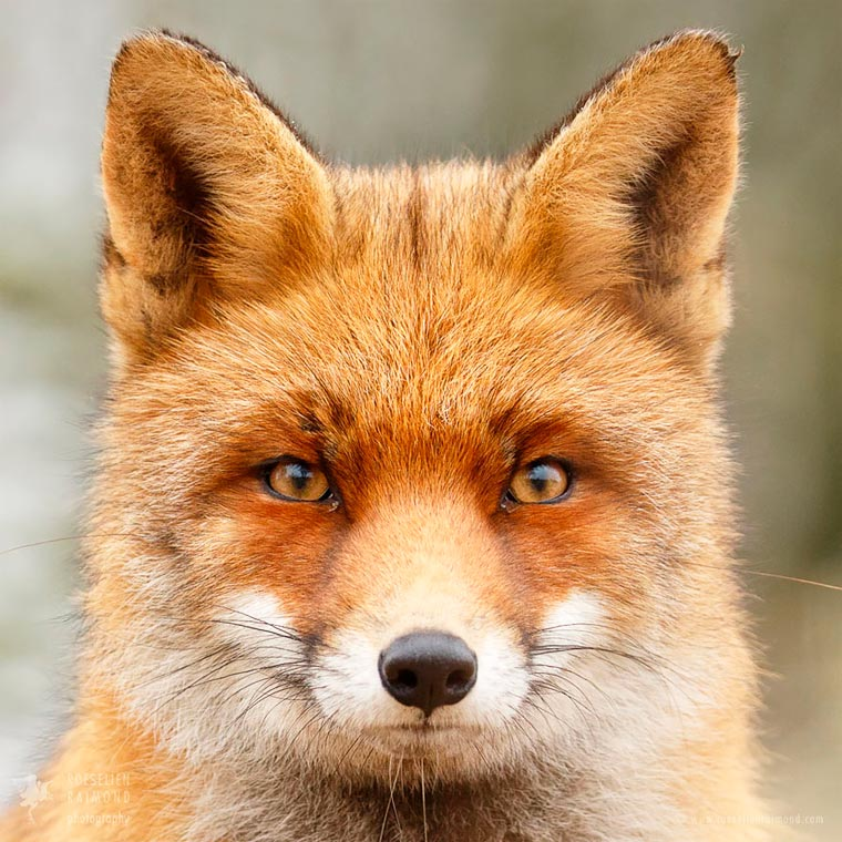 Faces-of-Foxes-Roeselien-Raimond-9
