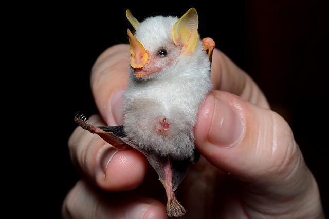 Honduran White Bat Tent Bat Ectophylla alba costa rica 2