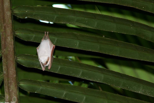 Honduran White Bat Tent Bat Ectophylla alba costa rica 6