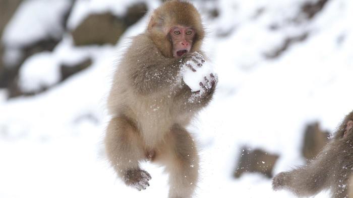 baby-japanese-macaques-make-snowballs_48b8bc99b0b41d7c