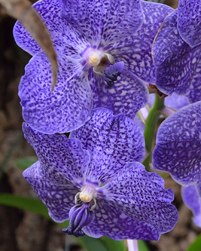 chasseur-orchidees-11