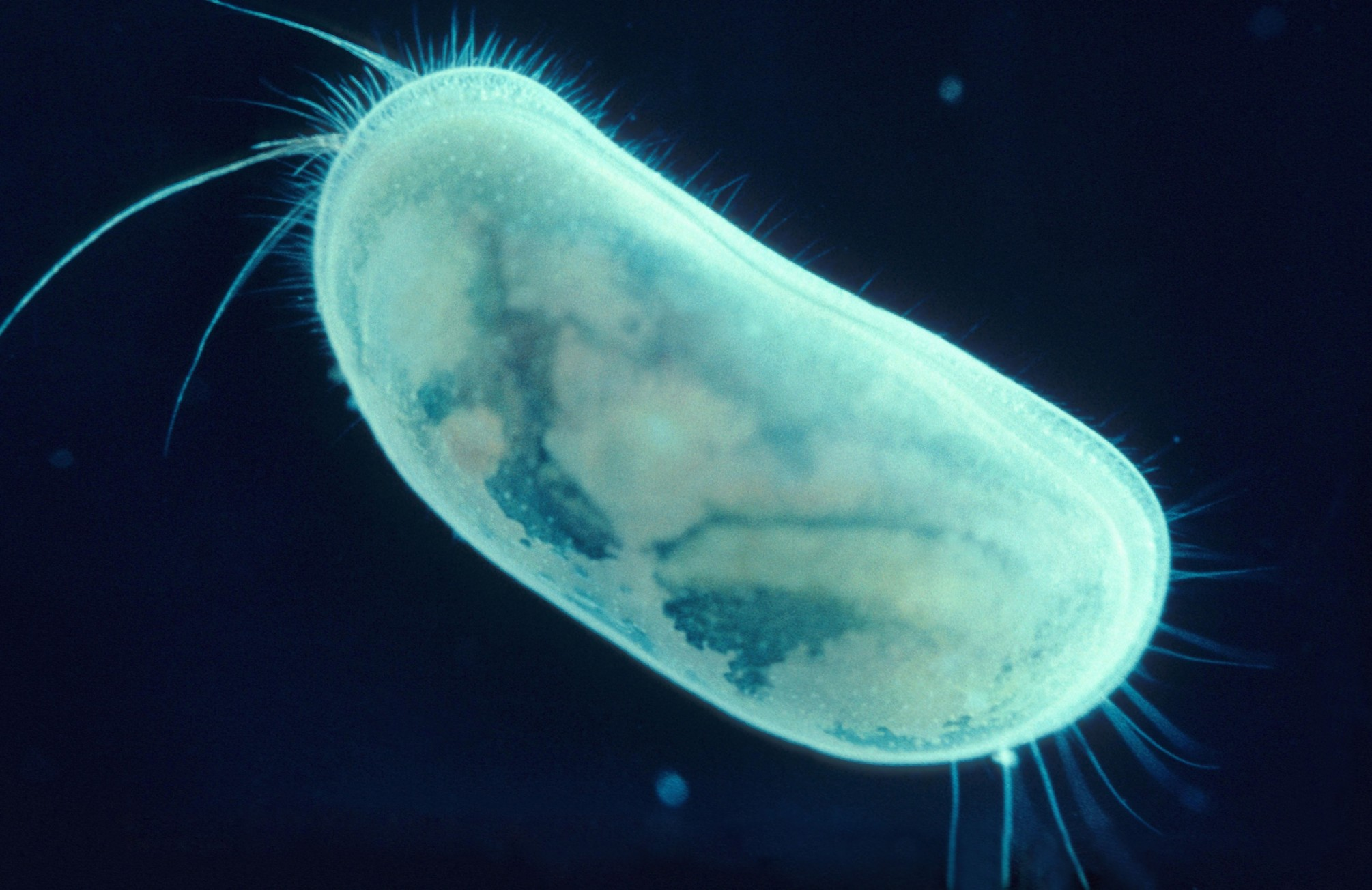 ostracod-bioluminescence