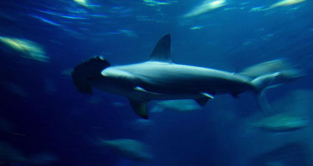 requins-marteaux-ulyces-01