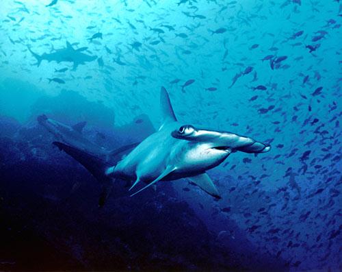 requins-marteaux-ulyces-02