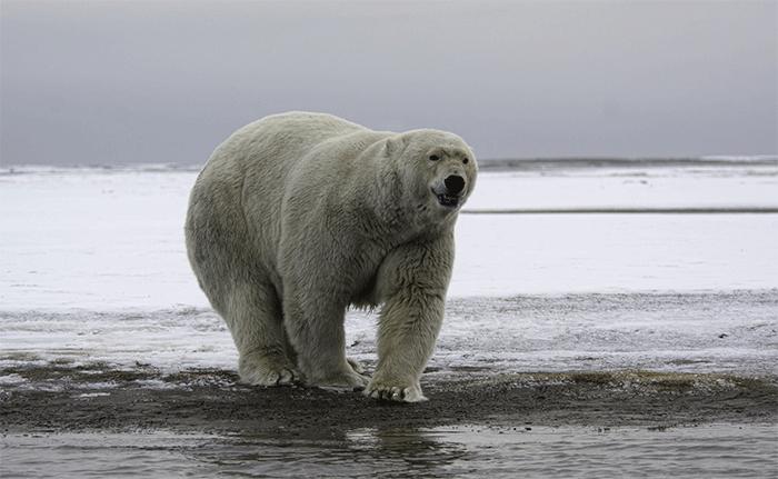 Un ours polaire peut détecter un phoque annelé coincé sous plusieurs mètres de neigeCrédits