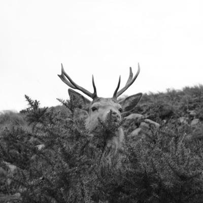 Cerf de l'île de Jura Sur la route de Barnhill Crédits : Matthew Bremner