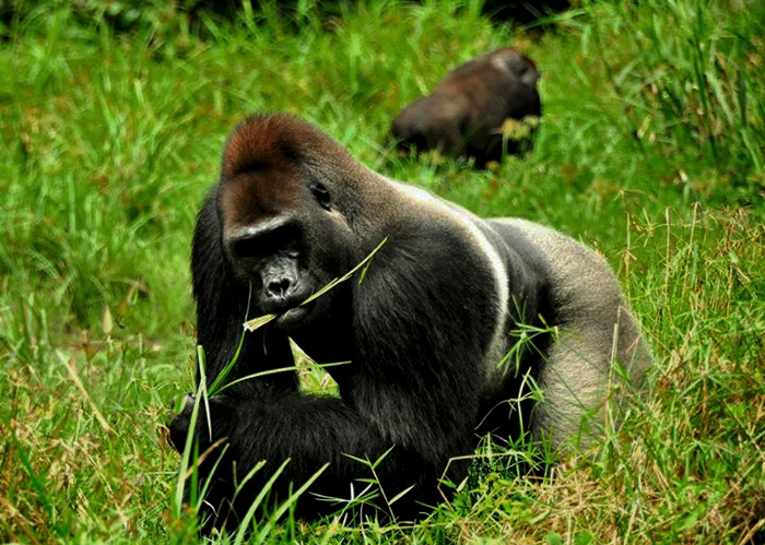 Des gorilles à Dzanga BaiCrédits : Facebook
