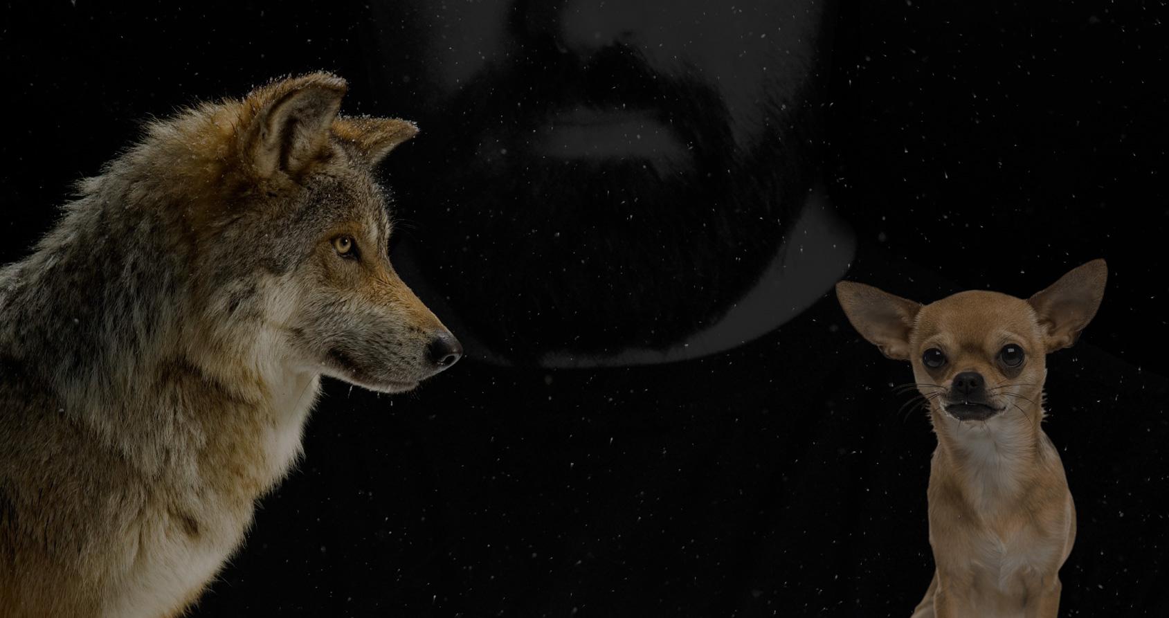 Du loup au chihuahua : comment l'homme a génétiquement inventé le chien