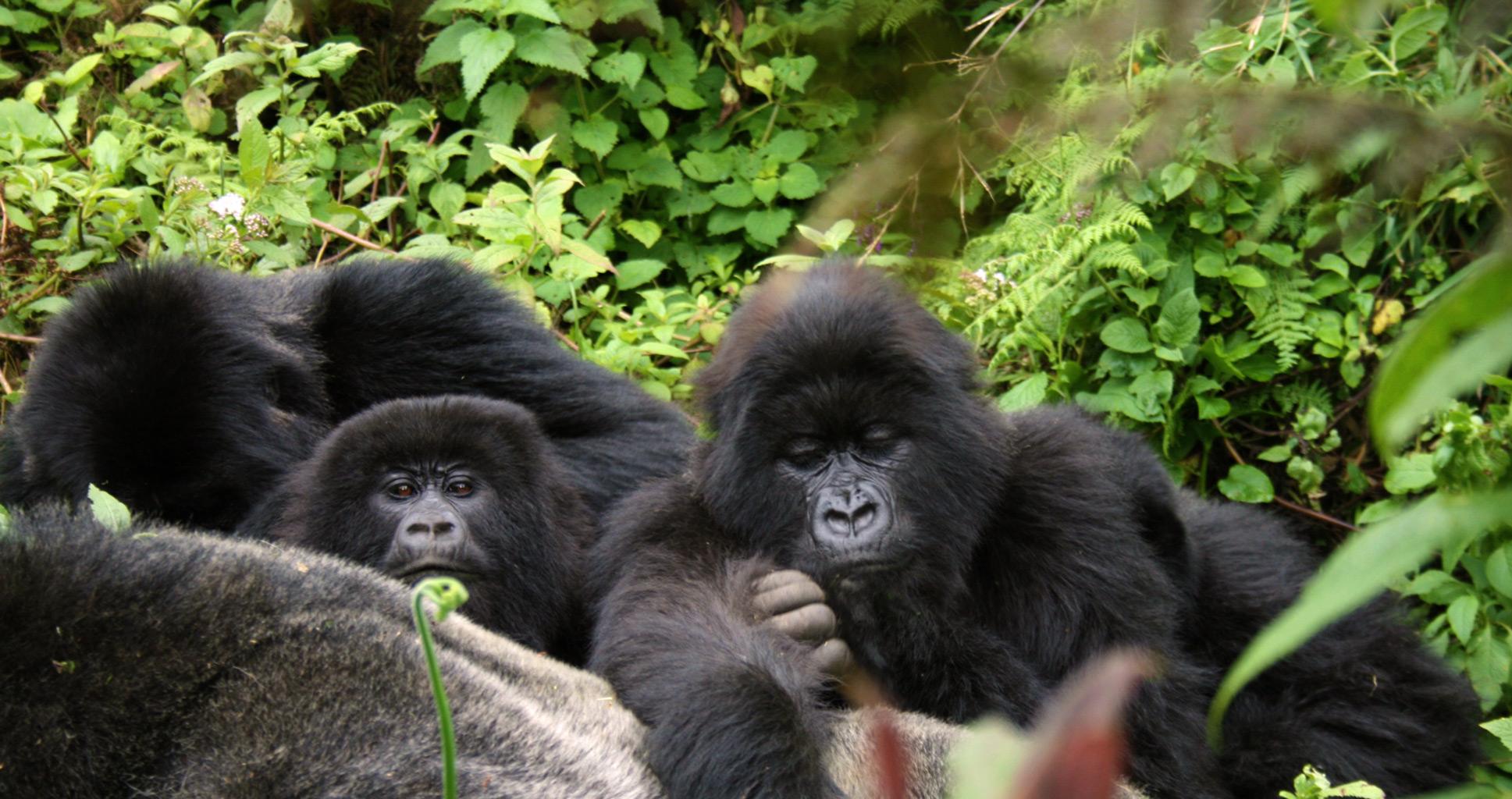 La guerre des gorilles