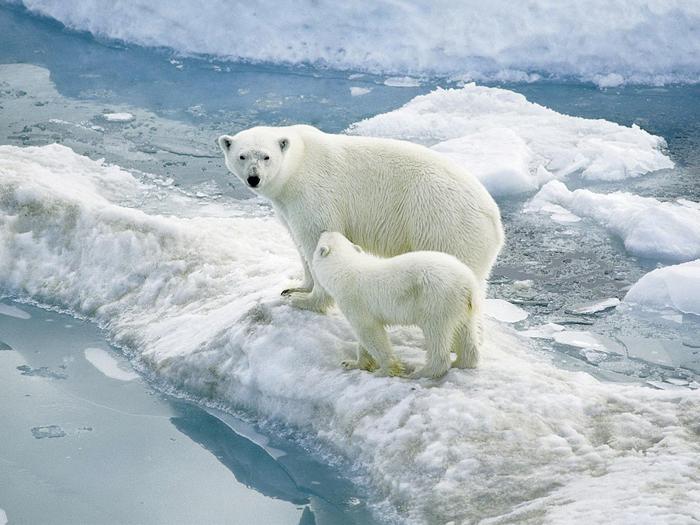 Les ours polaires sont chassés par les inuitsCrédits