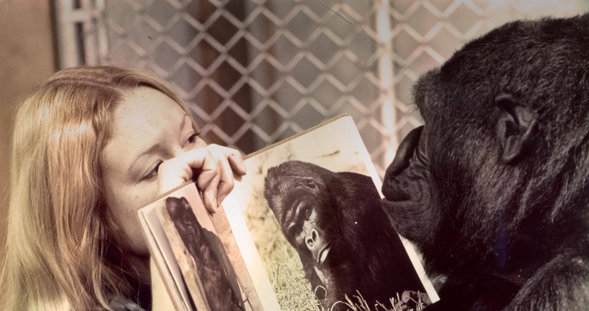 Une conversation avec Koko le gorille