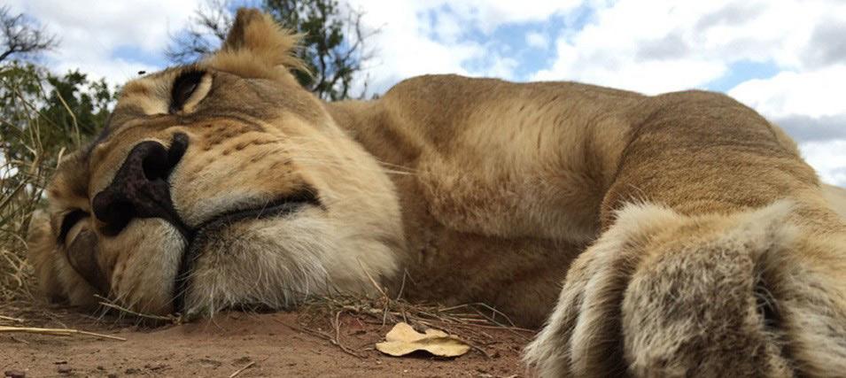 ulyces-lionwhisperer-02