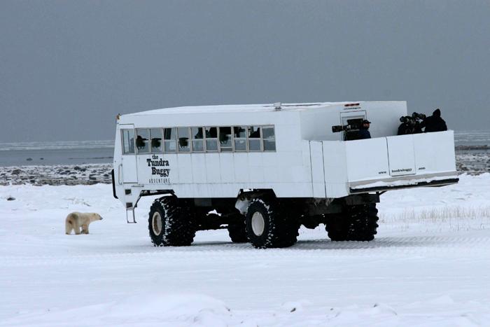 Un Tundra Buggy, véhicule spécialement construit pour transporter les touristes venu voir des ours polairesCrédits