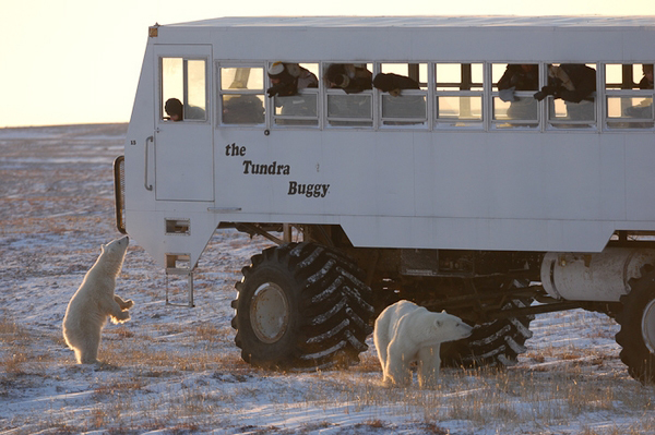 PBI essaye de contrôler l'image de l'ours polaire à ChurchillCrédits : Daniel J.Cox/Polar Bears International