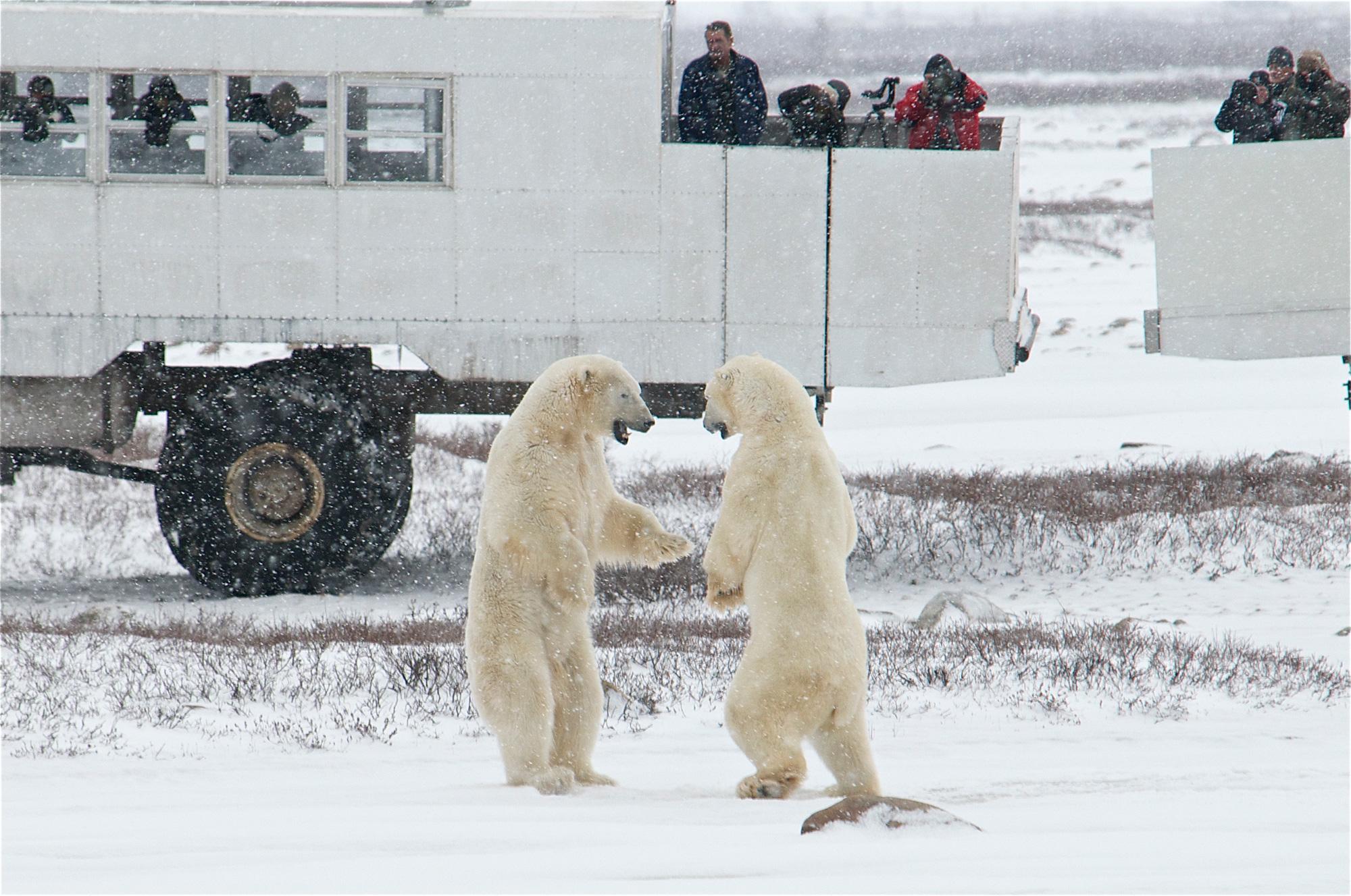 Deux ours polaires en pleine représentationCrédits