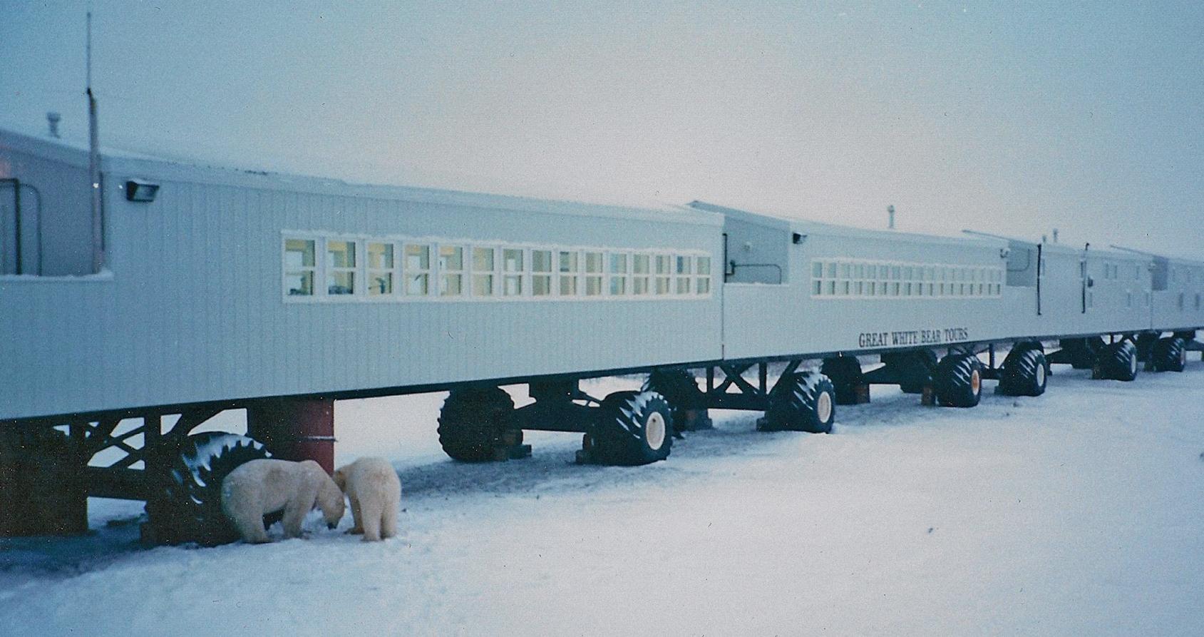 Cette ville compte plus d'ours polaires que d'habitants