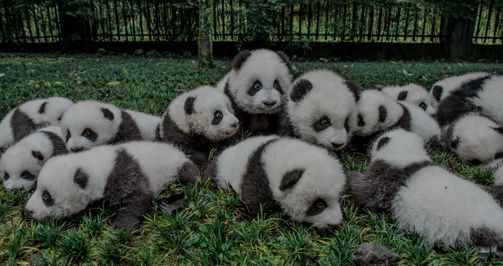Comment la Chine utilise les pandas pour faire de la diplomatie