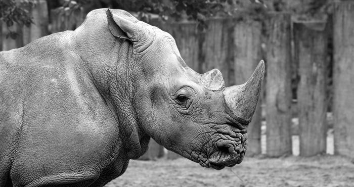 ulyces-rhino-18
