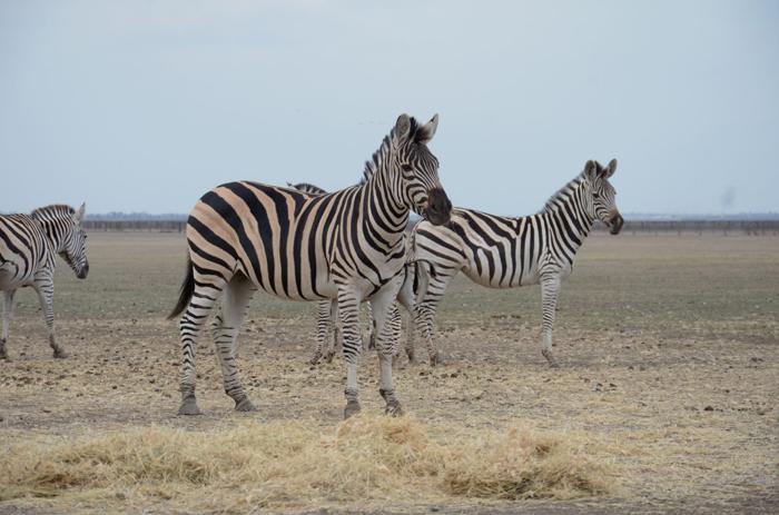 Des animaux venus d'Afrique, d'Asie ou des Amériques errent librementCrédits Dimiter Kenarov