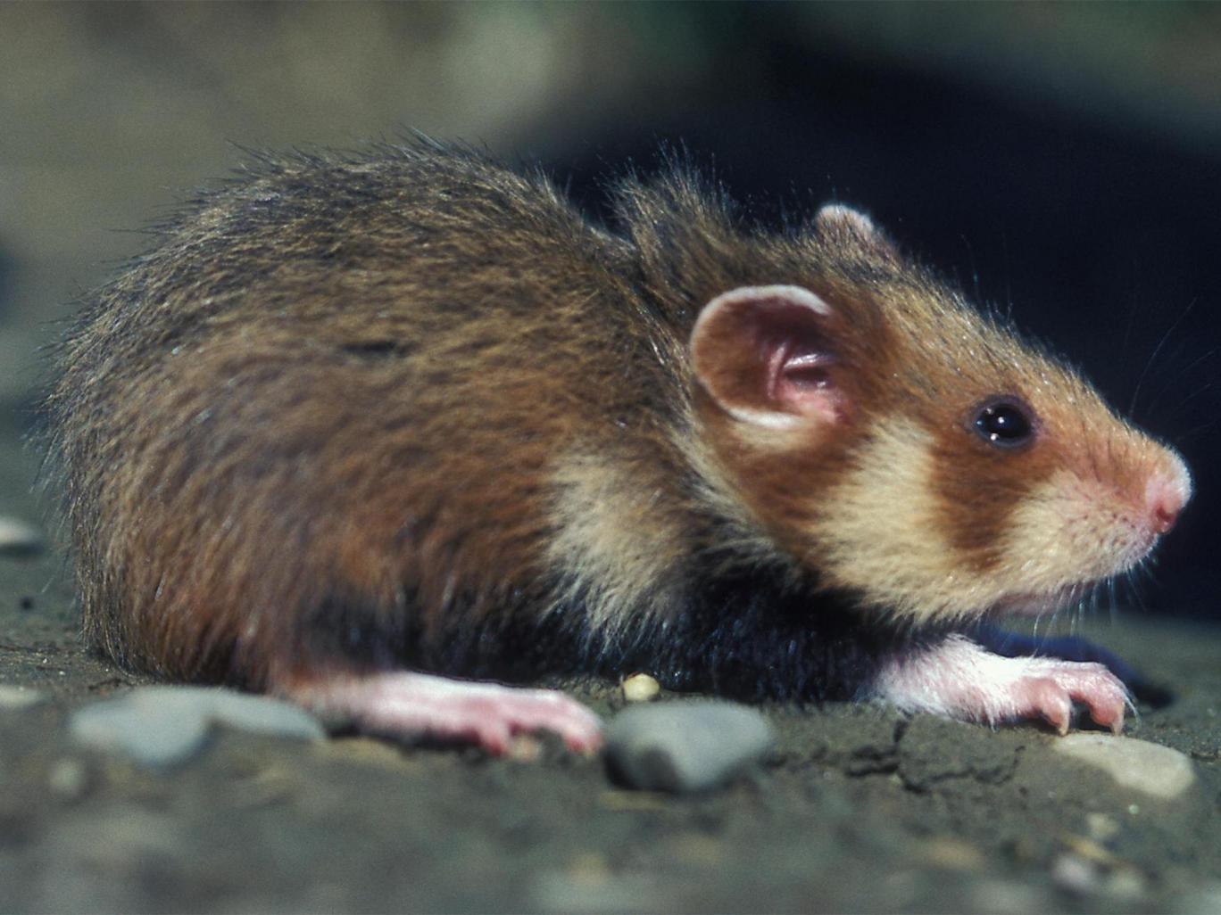 wild-hamsters