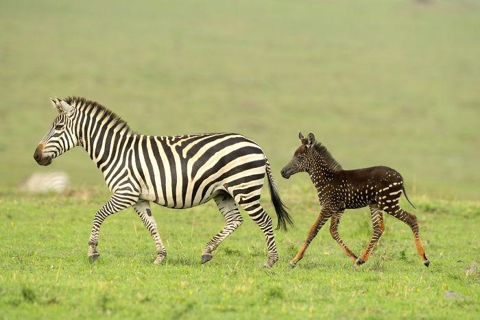 PHOTOS - Naissance d'un zèbre à pois dans une réserve kényane